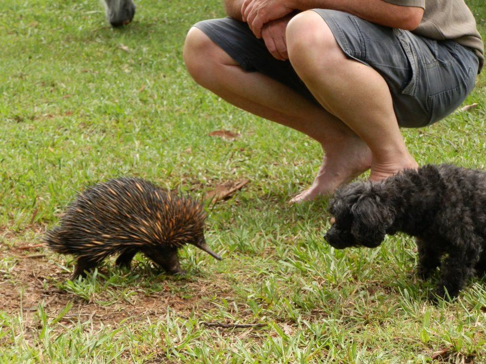 Echidna meets Poodle